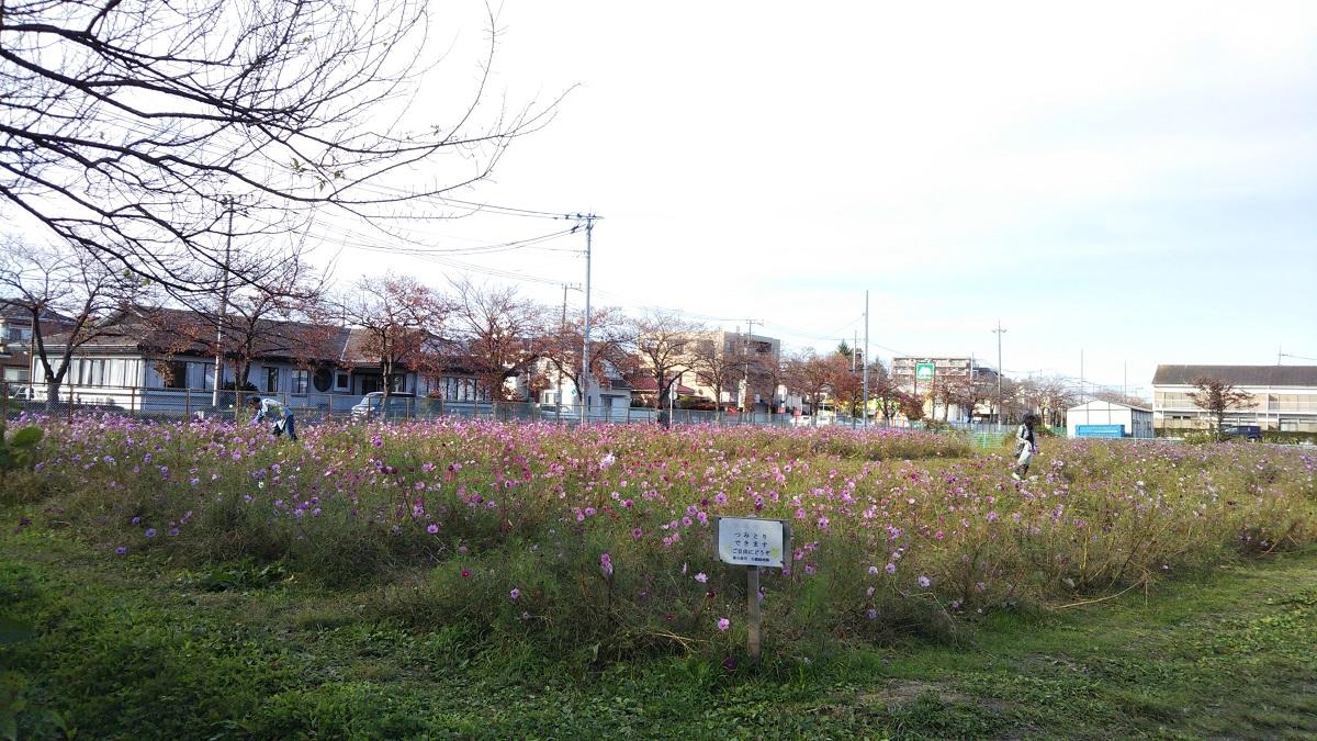 一ノ割上根公園,コスモス,春日部