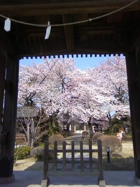 最勝院,春日部,桜,お寺,temple,japan