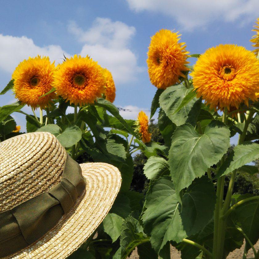春日部,ひまわり,八重ひまわり,麦わら帽子,田中帽子店