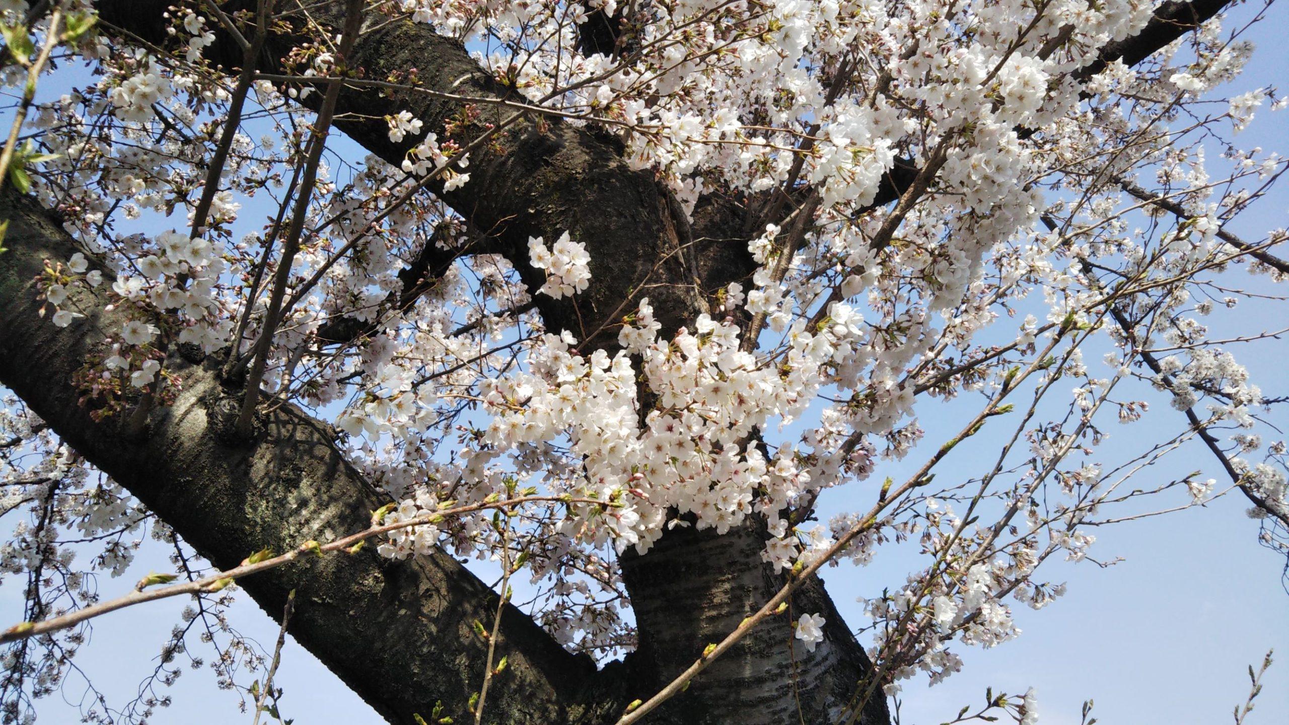 春日部市,桜