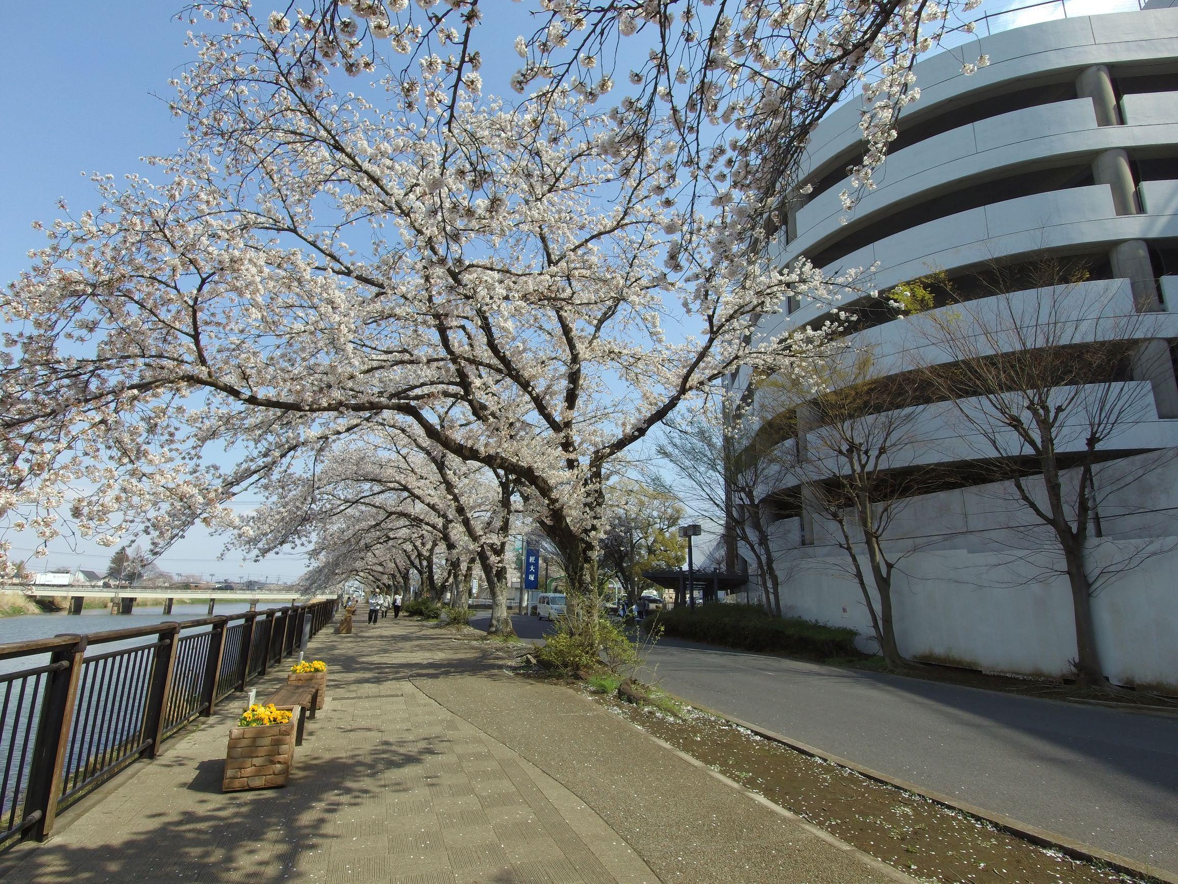 春日部市,桜,桜咲くかすかべ