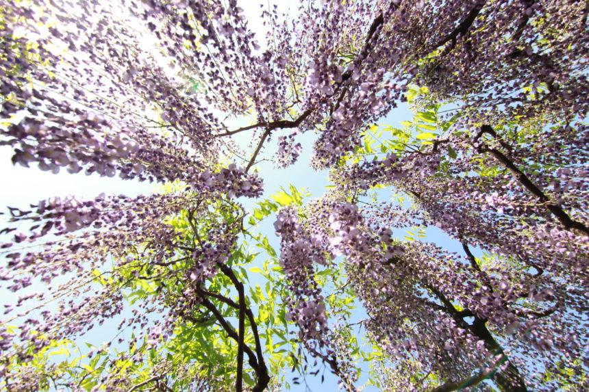 kasukabe,春日部市,埼玉県,藤,藤花園